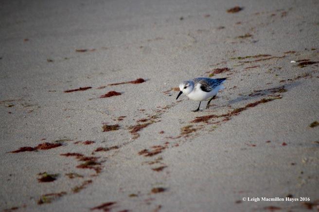 c-sanderling-looking-1