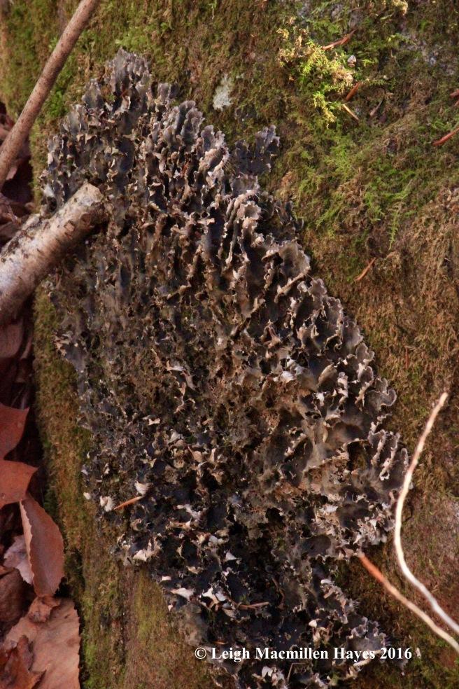 h-alt-dog-lichen-1