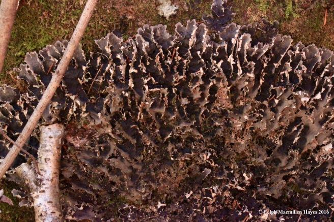 h-alt-dog-lichen-2