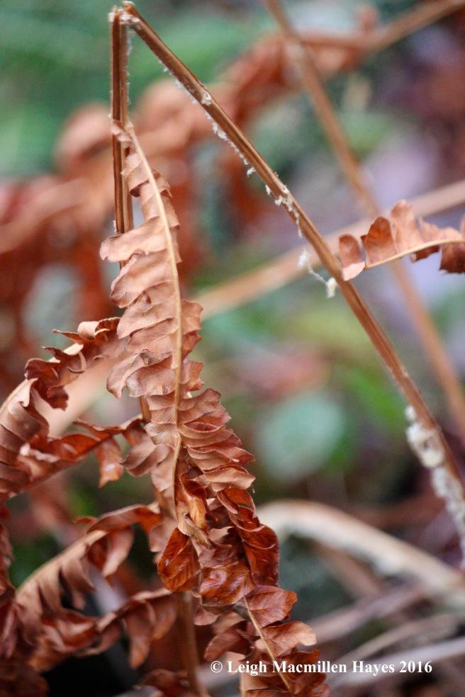 h-cinnamon-fern