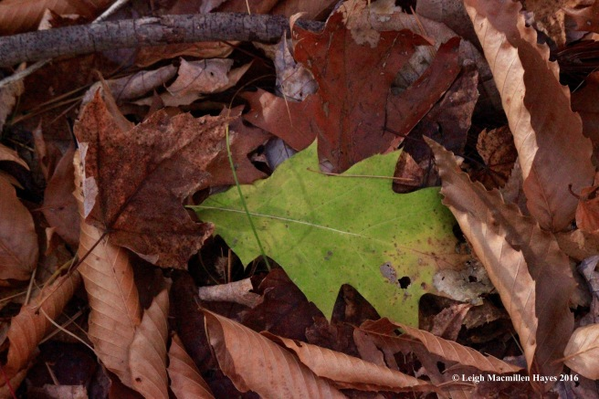 h-green-oak-leaf