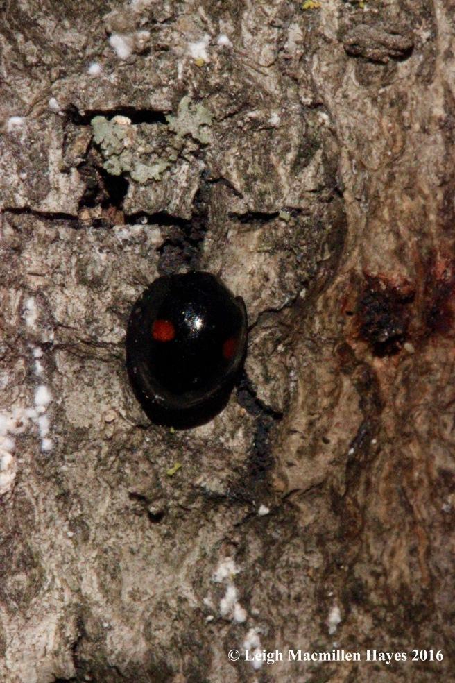 h-ladybird-beetle