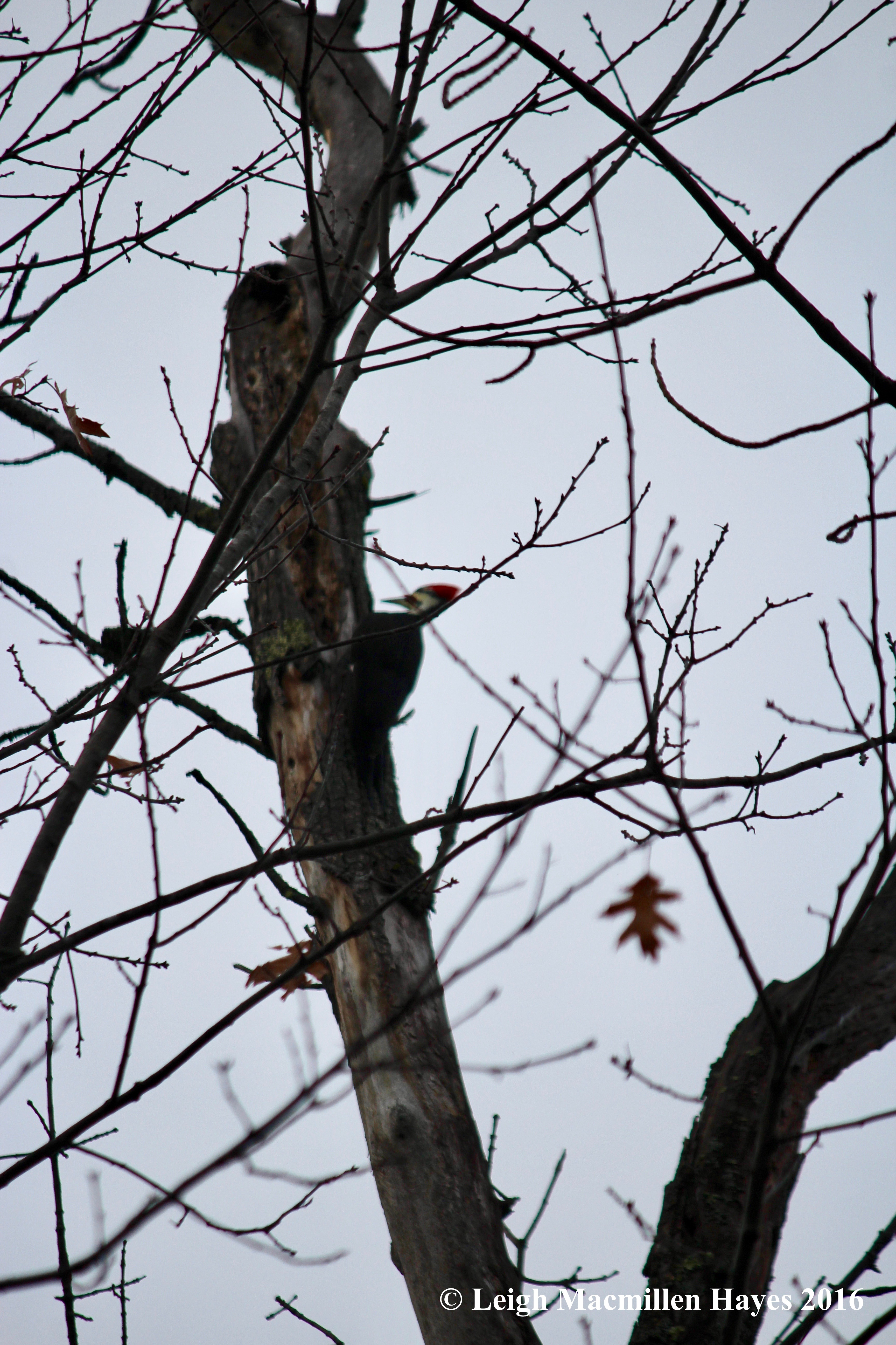 h-pileated