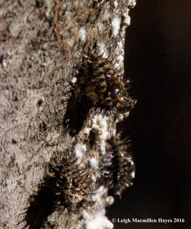 h-spiny-leaf-beetleladybird-hatching-from-pupa-stage