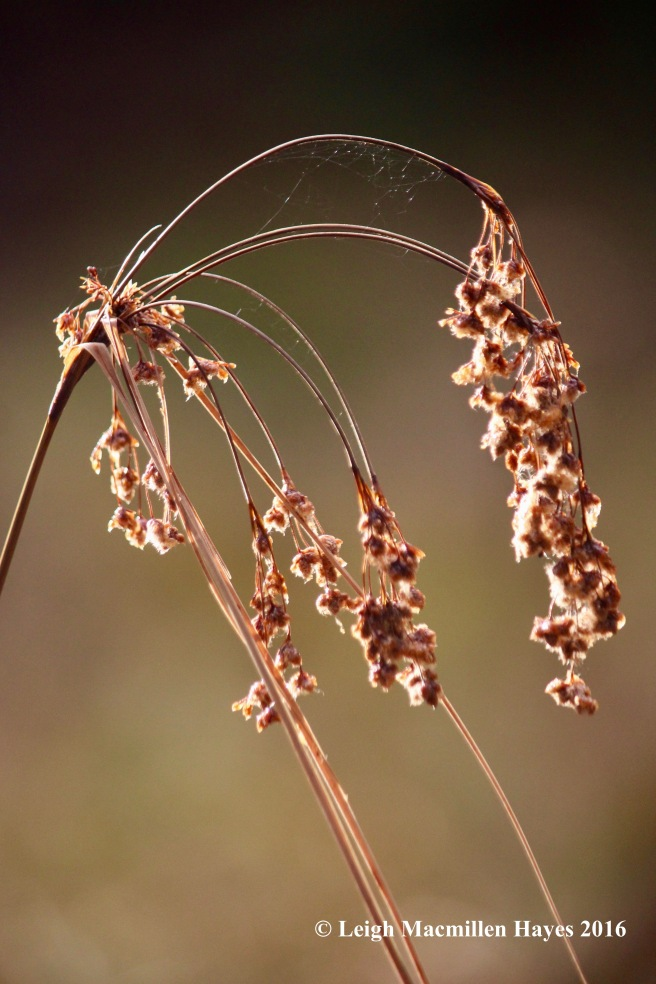 h-vp-bulrush-a-grass