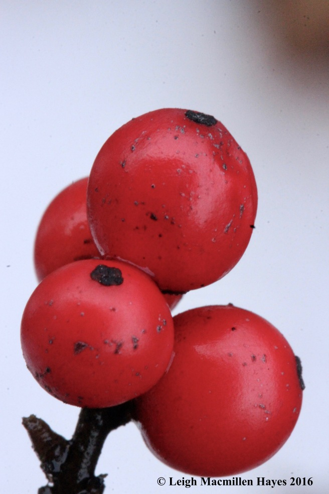 h-winterberry