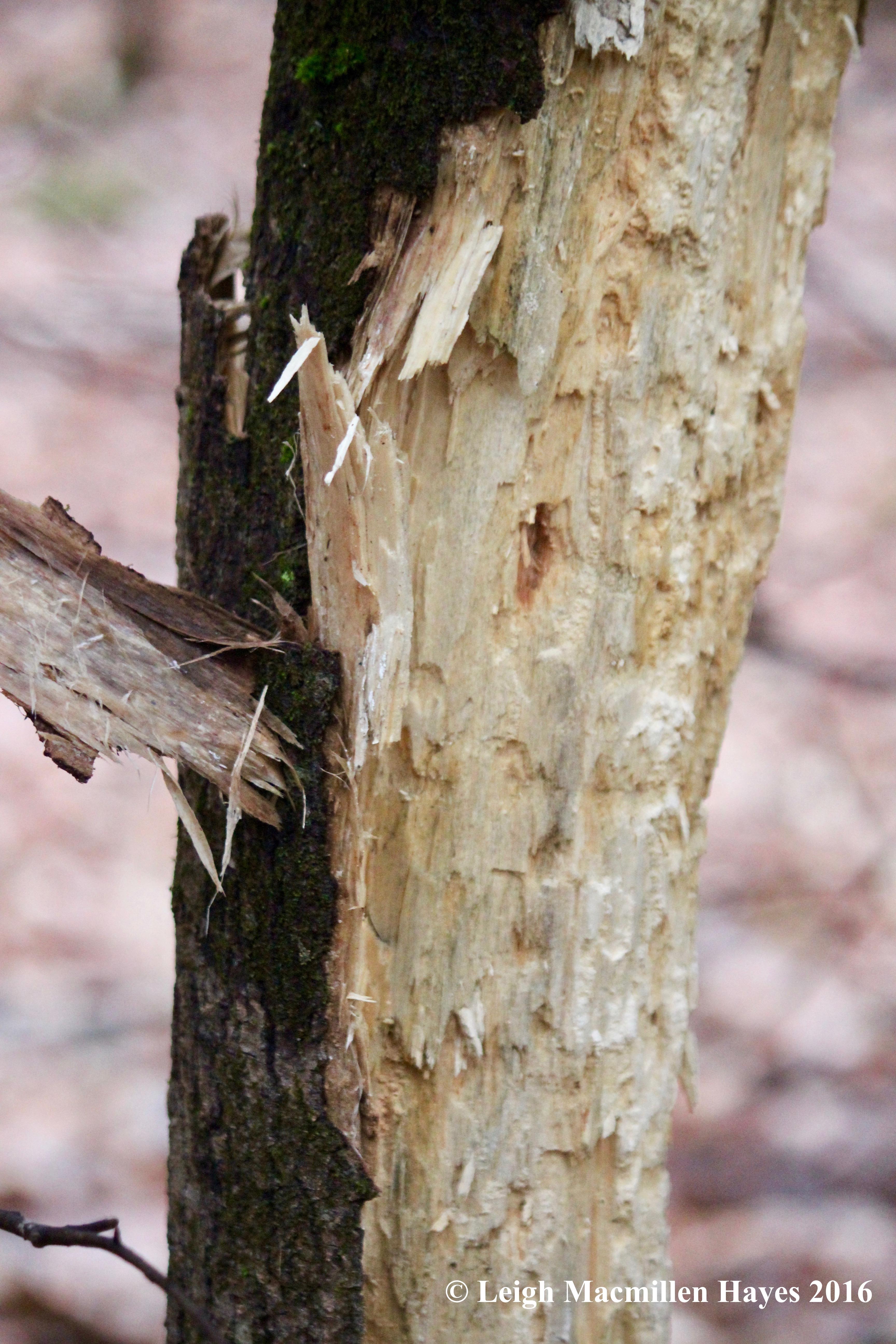 h-woodpecker-2
