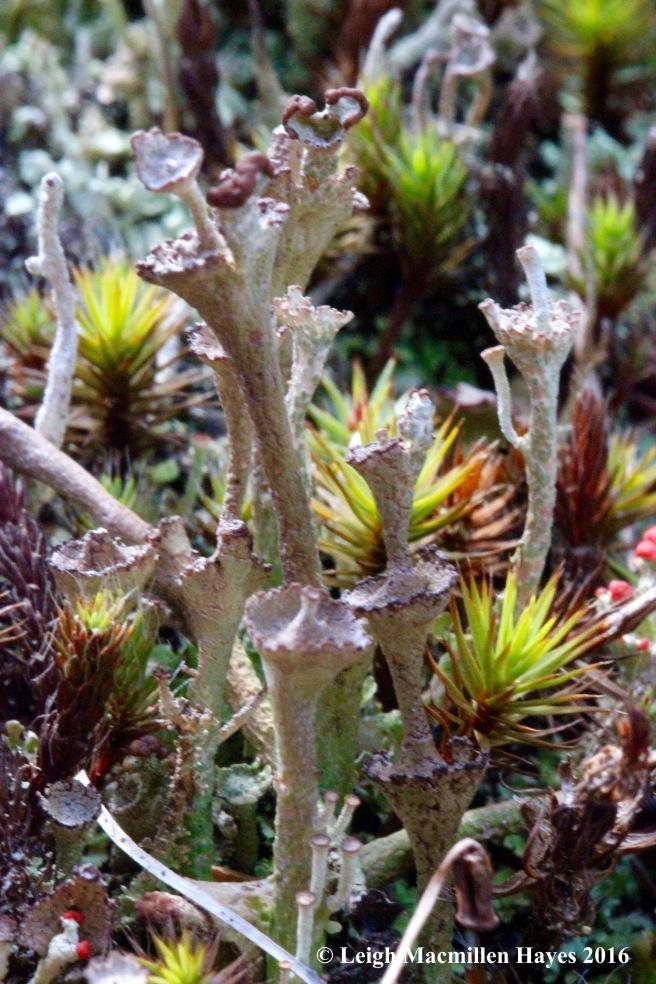 j-ladder-lichen-cladonia-cervicornis-subsp-verticillata