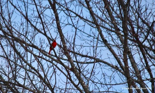 b-cardinal1