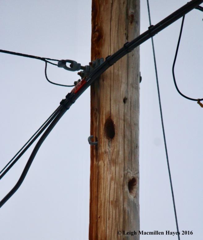 b-pileated-pole