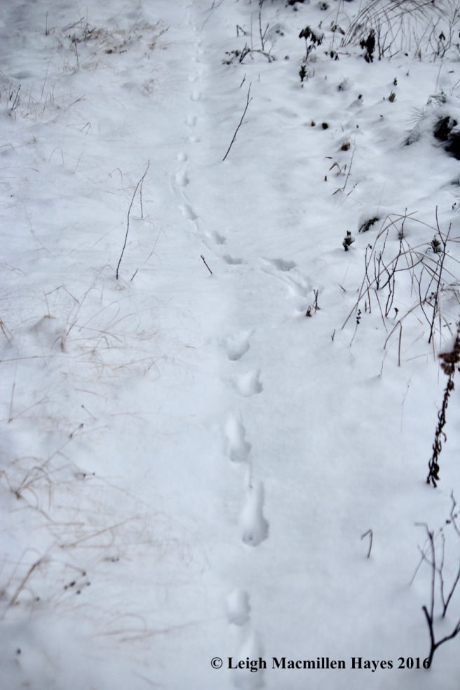 l-fox-path