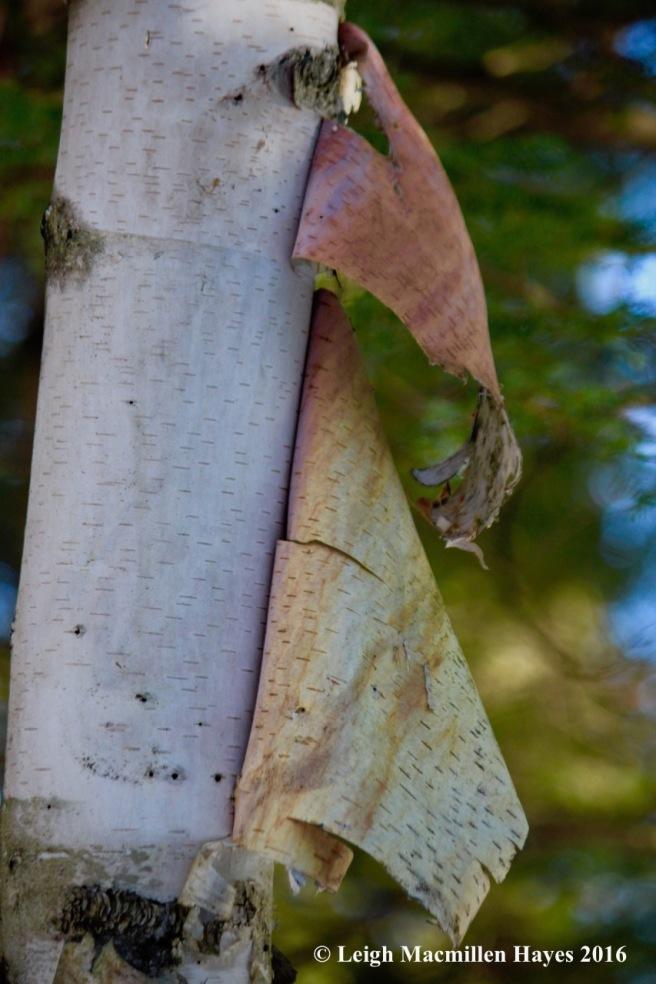 o-paper-birch