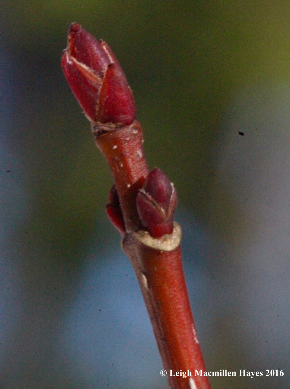 o-red-maple-bud