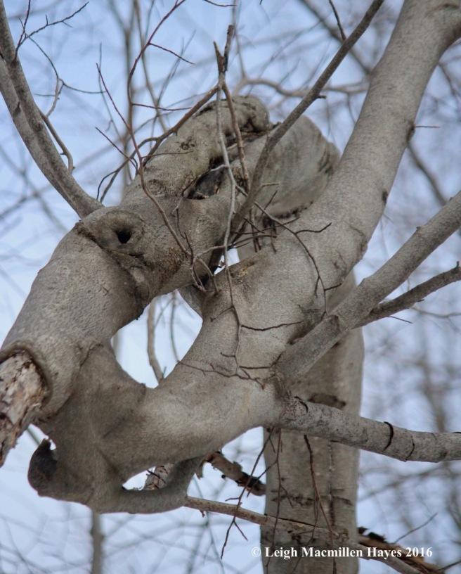 p-beech-contortion