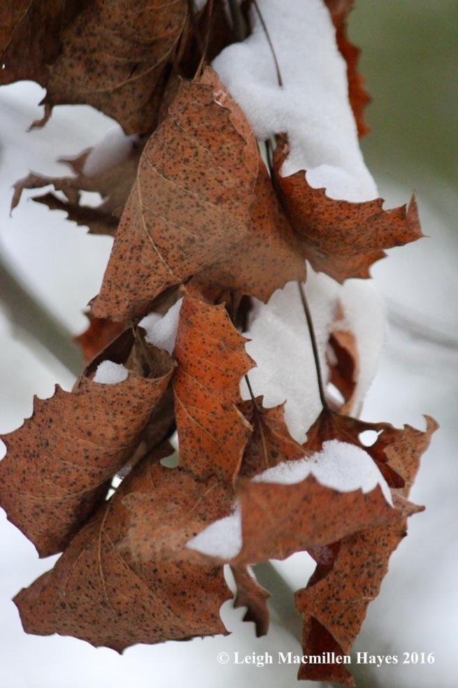 p-big-tooth-leaves