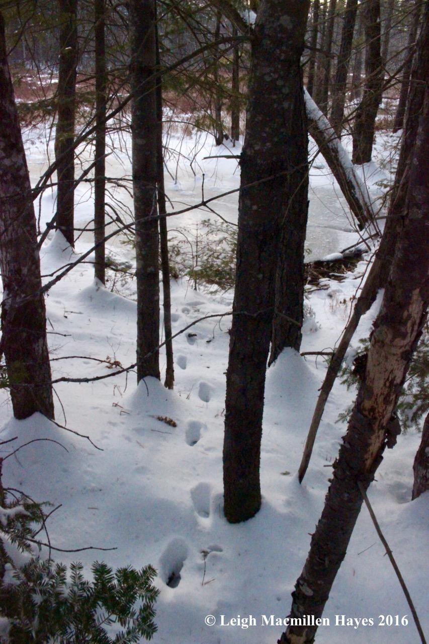 p-deer-tracks