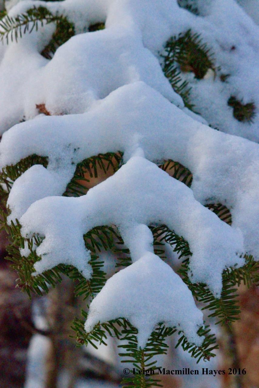 p-fir-christmas-tree