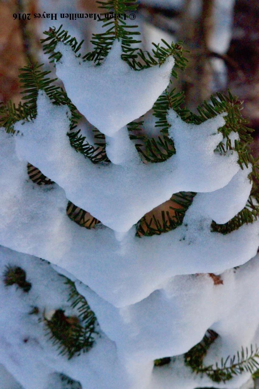 p-fir Christmas Tree1.jpg