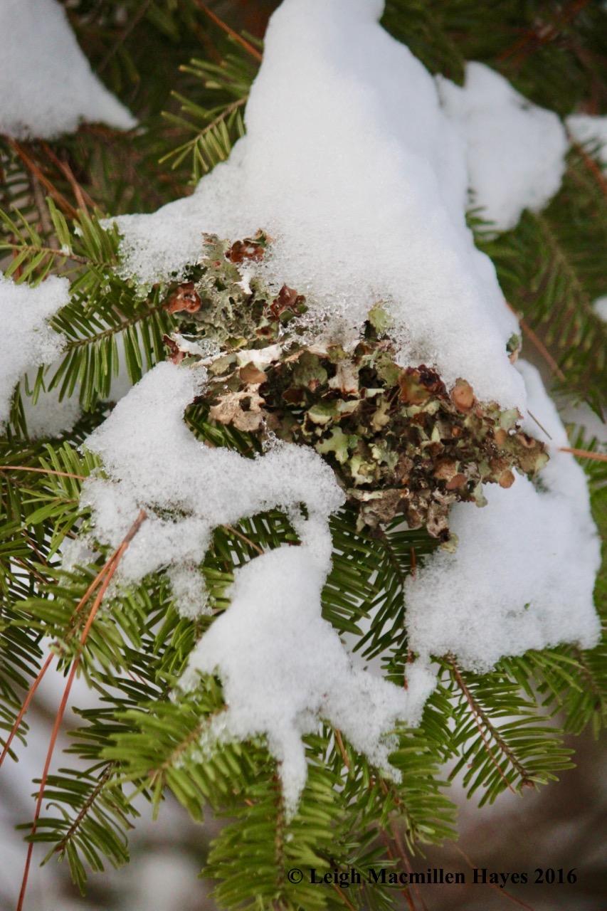 p-ornament-lichen1