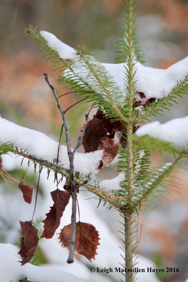 p-ornaments-big-tooth-on-fir