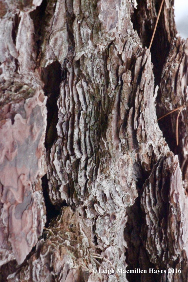 p-pitch-pine-bark1