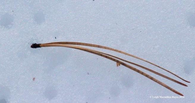 p-pitch-pine-needles