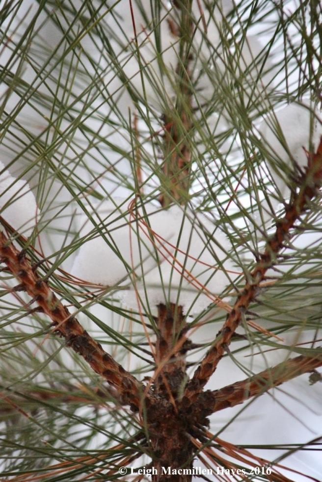 p-red-pine-geometry