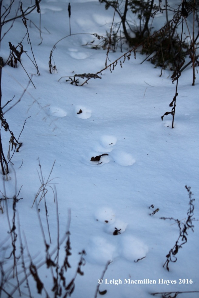 p-snowshoe-hare1