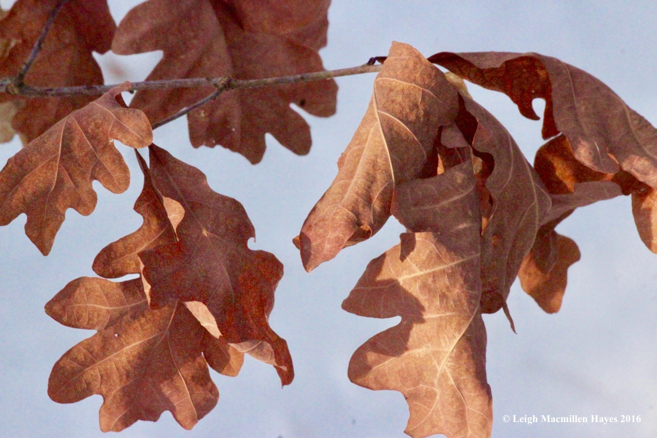 p-white-oak-leaves