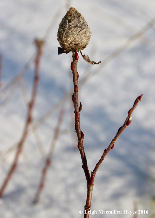 p-willow-gall