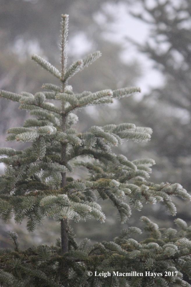 b-frosted-fir