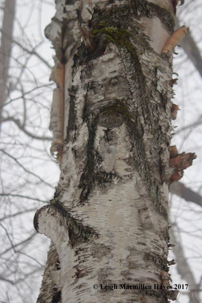 b-paper-birch-old