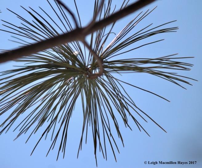 c-pine-needle-spokes