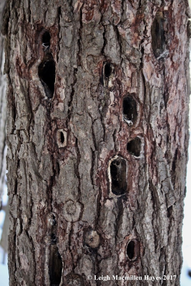 c-woodpecker-holes