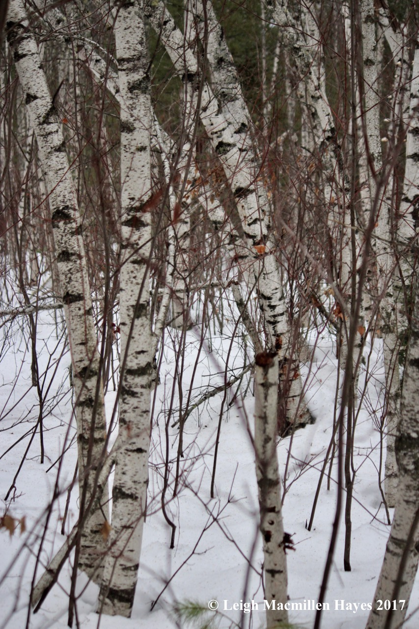 h-gray-birches-and-red-maples