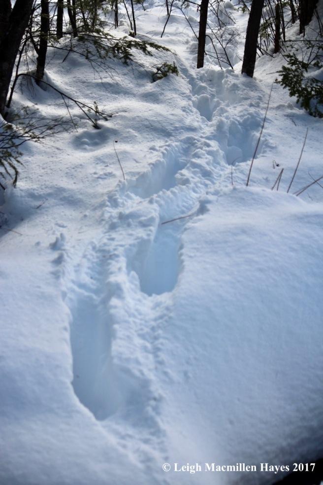 h-moose-tracks