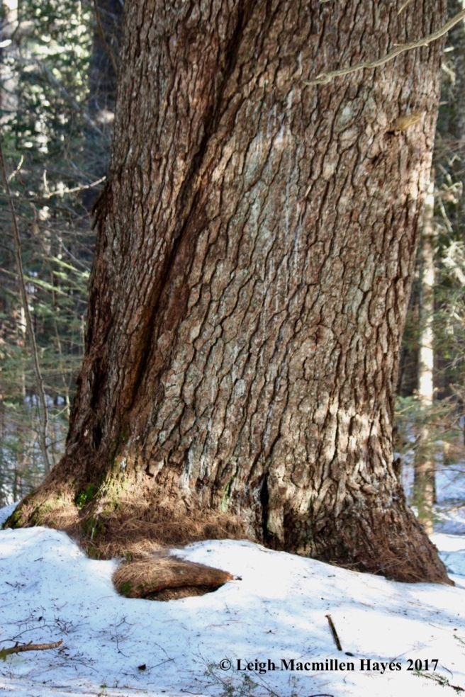 h-white-pine