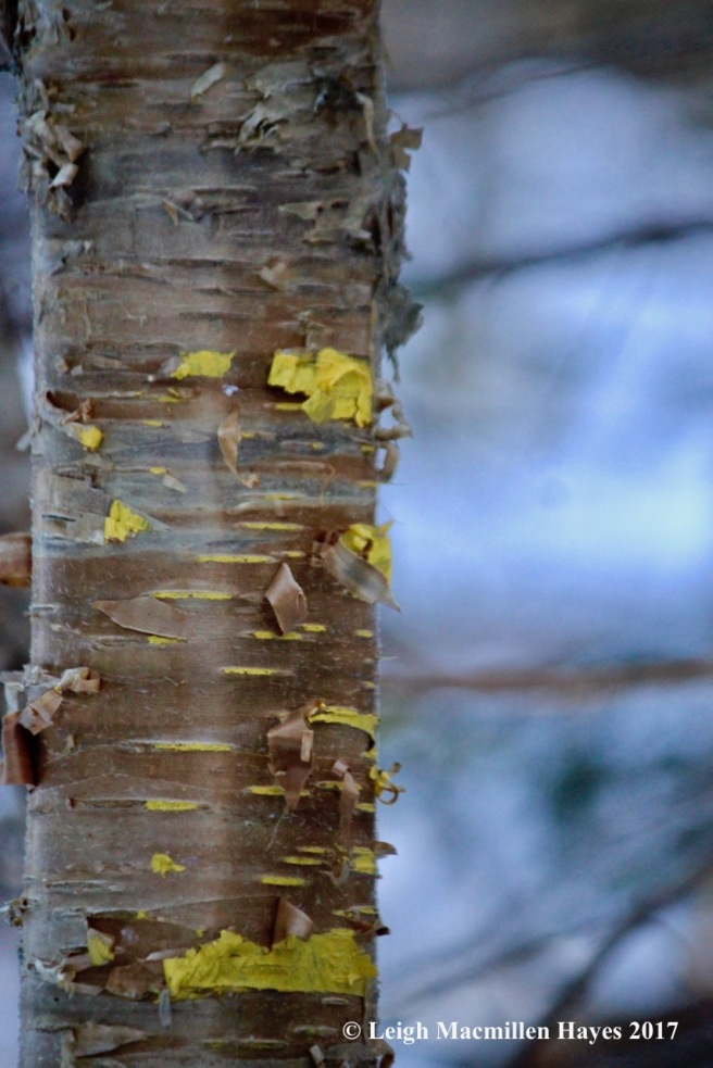 h-yellow-birch