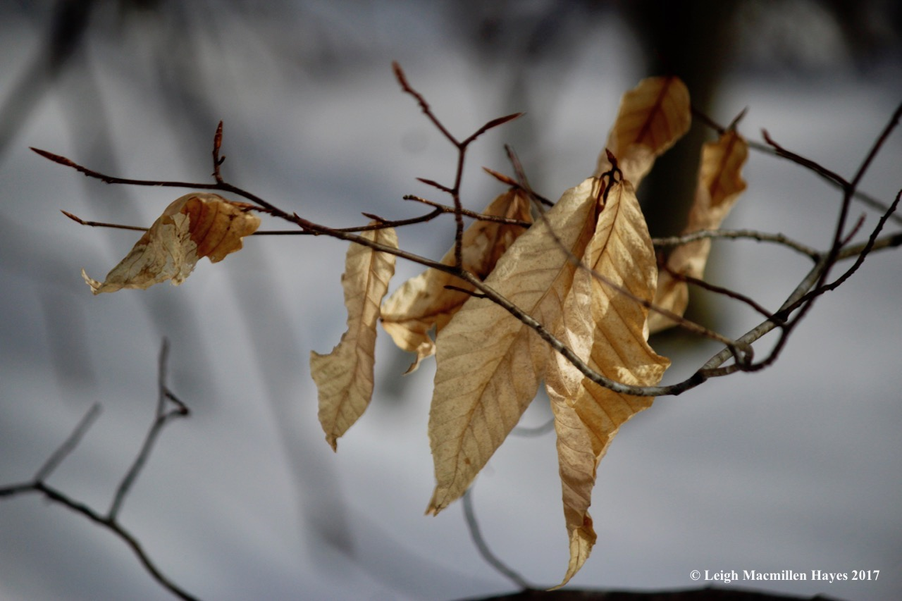 j-shivering-beech-leaves