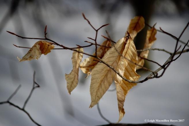 j-shivering-beech-leaves