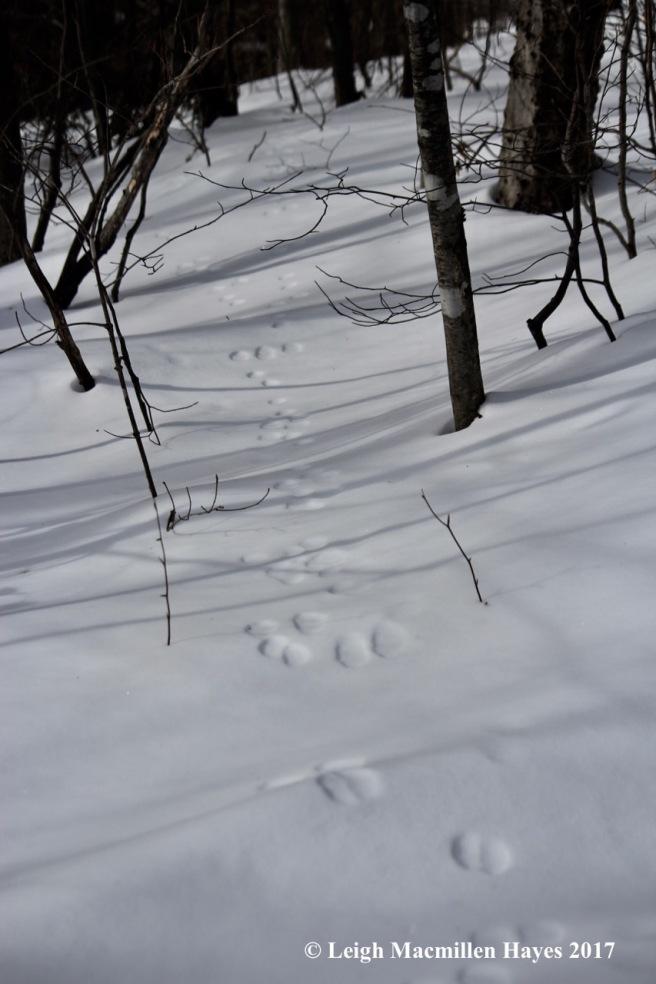 j-snowshoe-hare