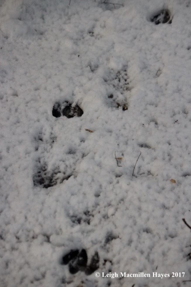 o-deer-tracks