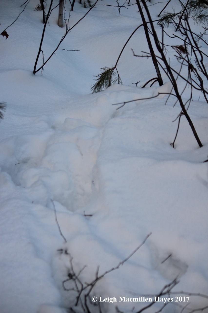 o-moose-tracks