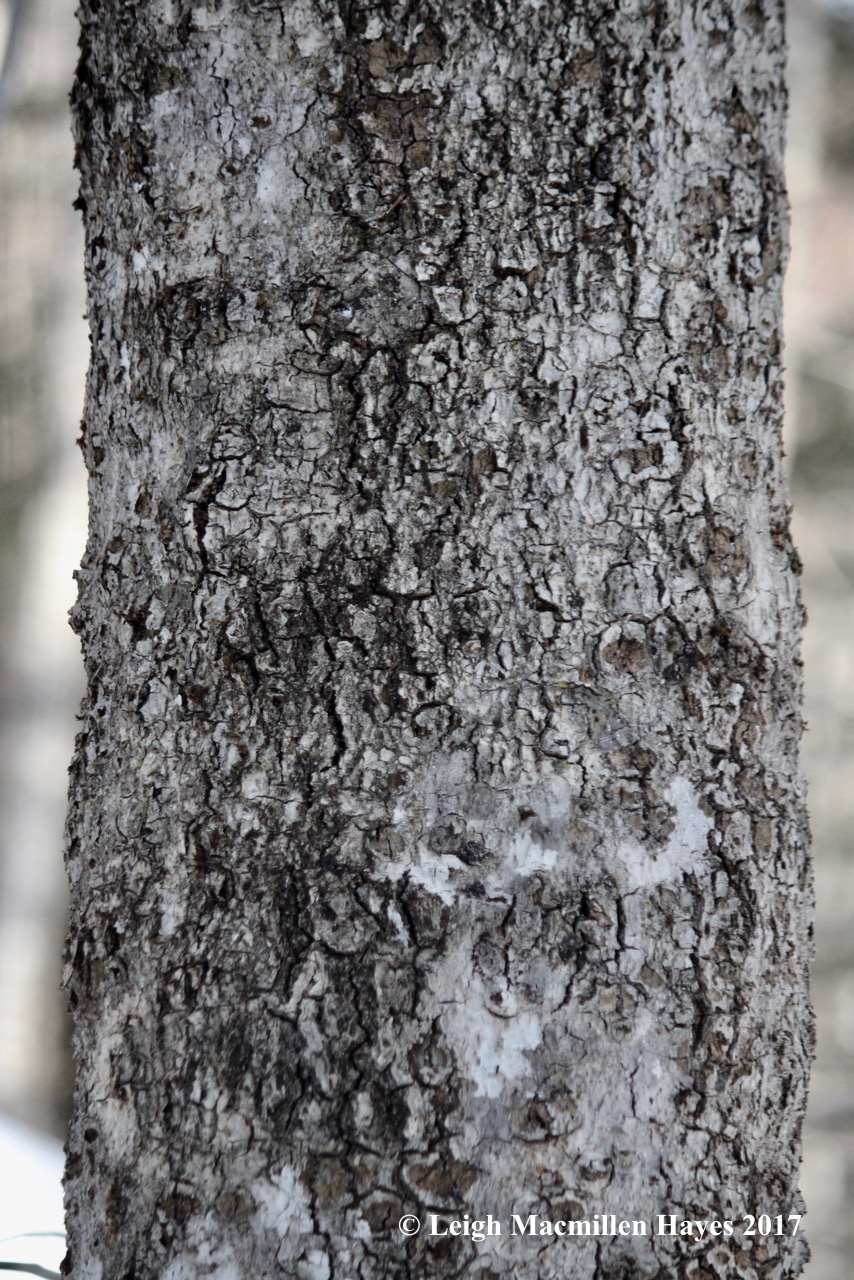 r-beech-bark-2