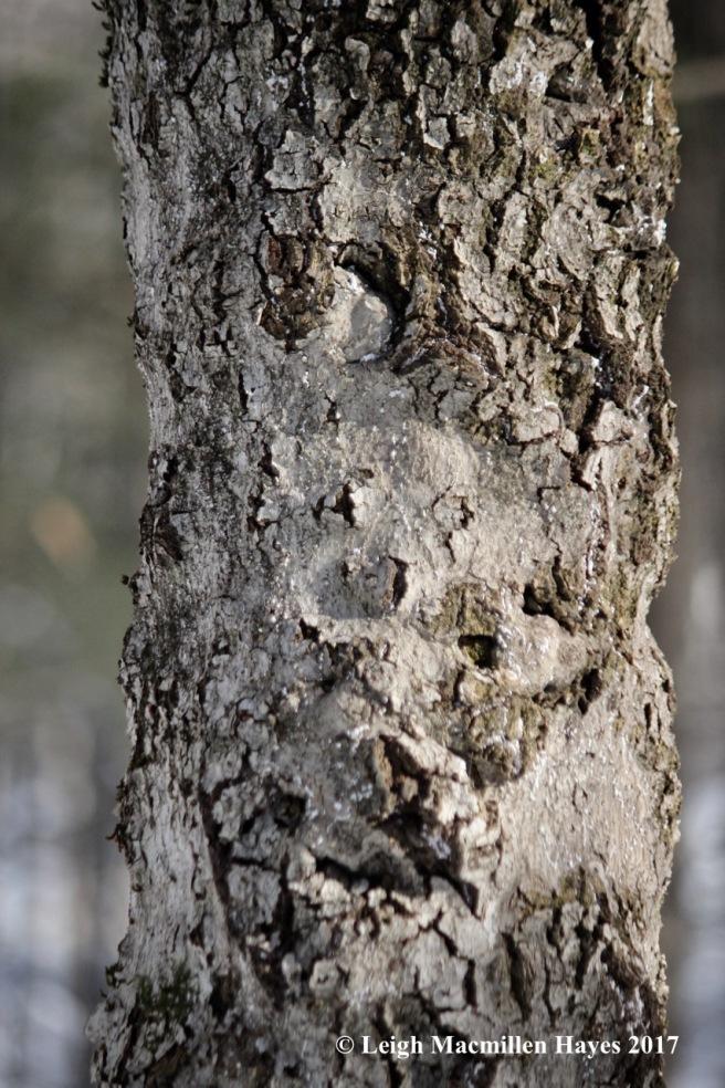 r-beech-bark-5
