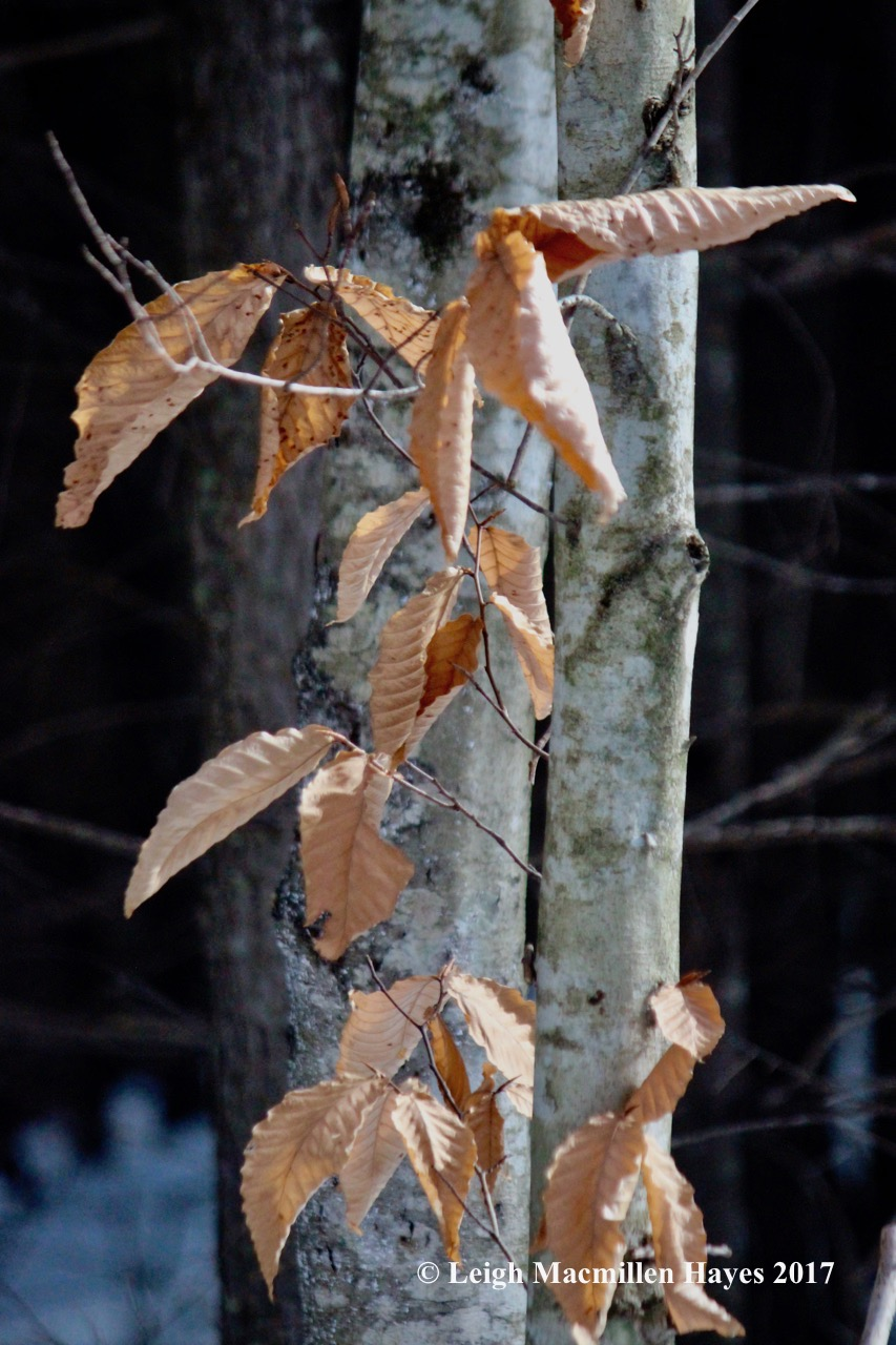 w-beech-leaves-rustling