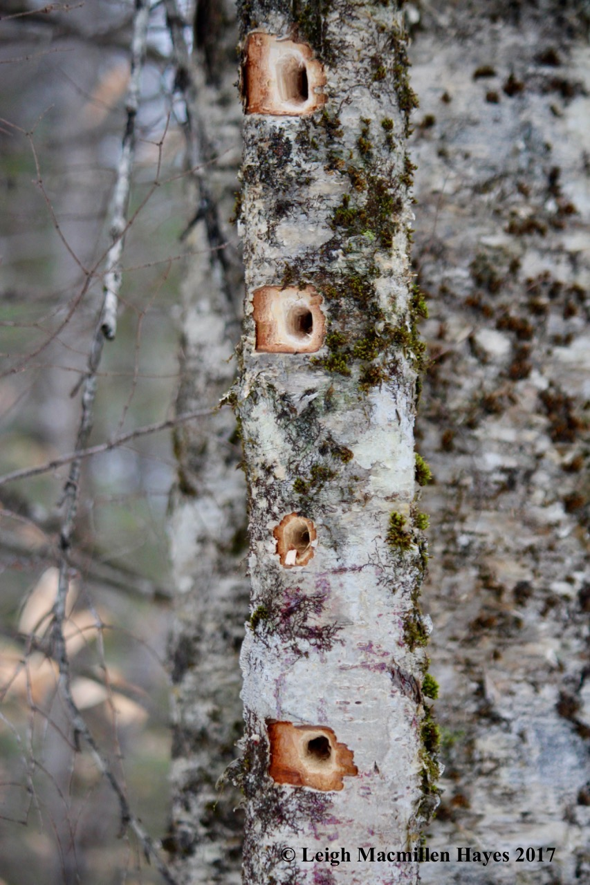 w-pileated-holes
