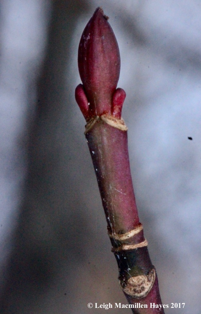 w-striped-maple-buds-and-twig