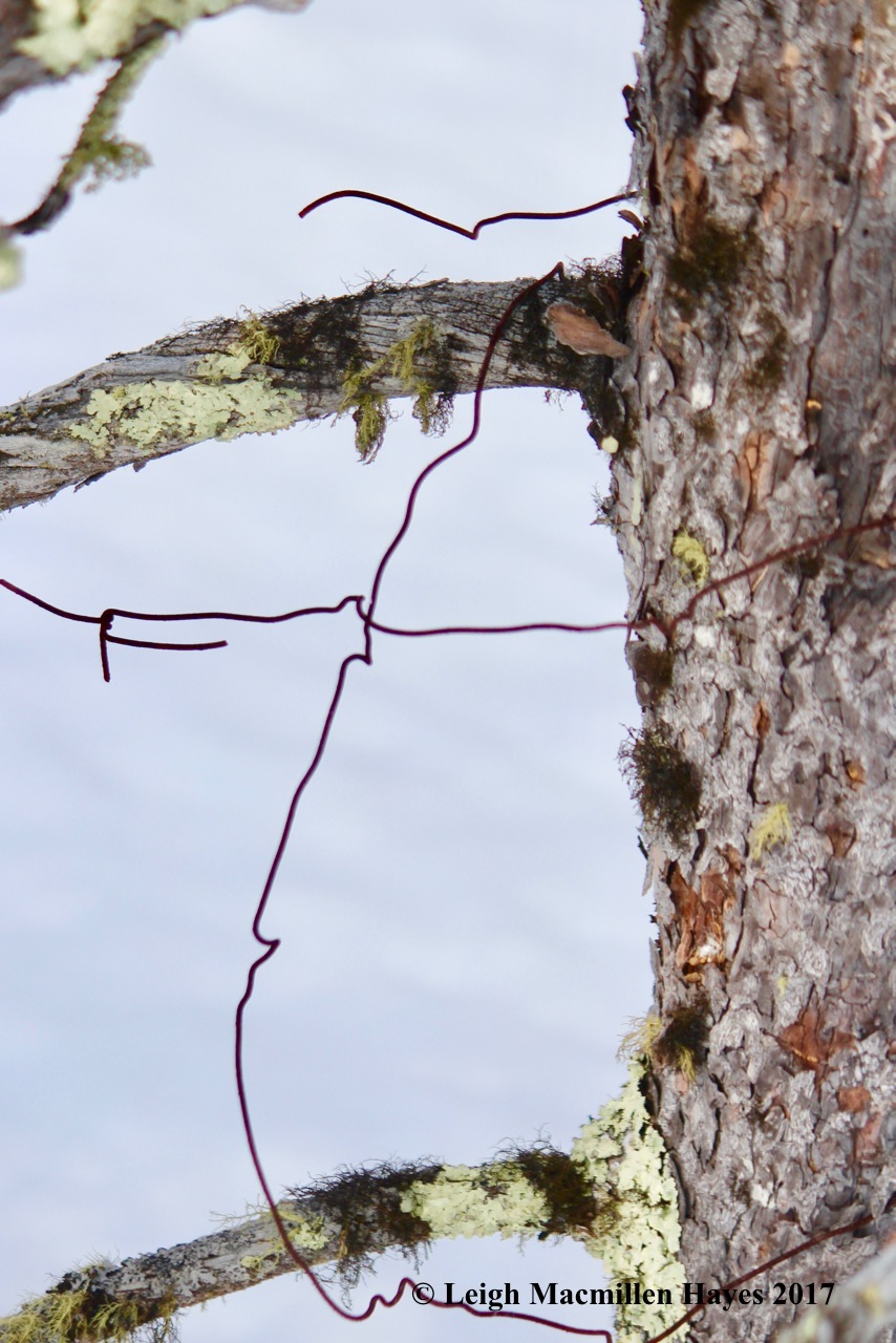 h-barbed-wire-on-tamarack