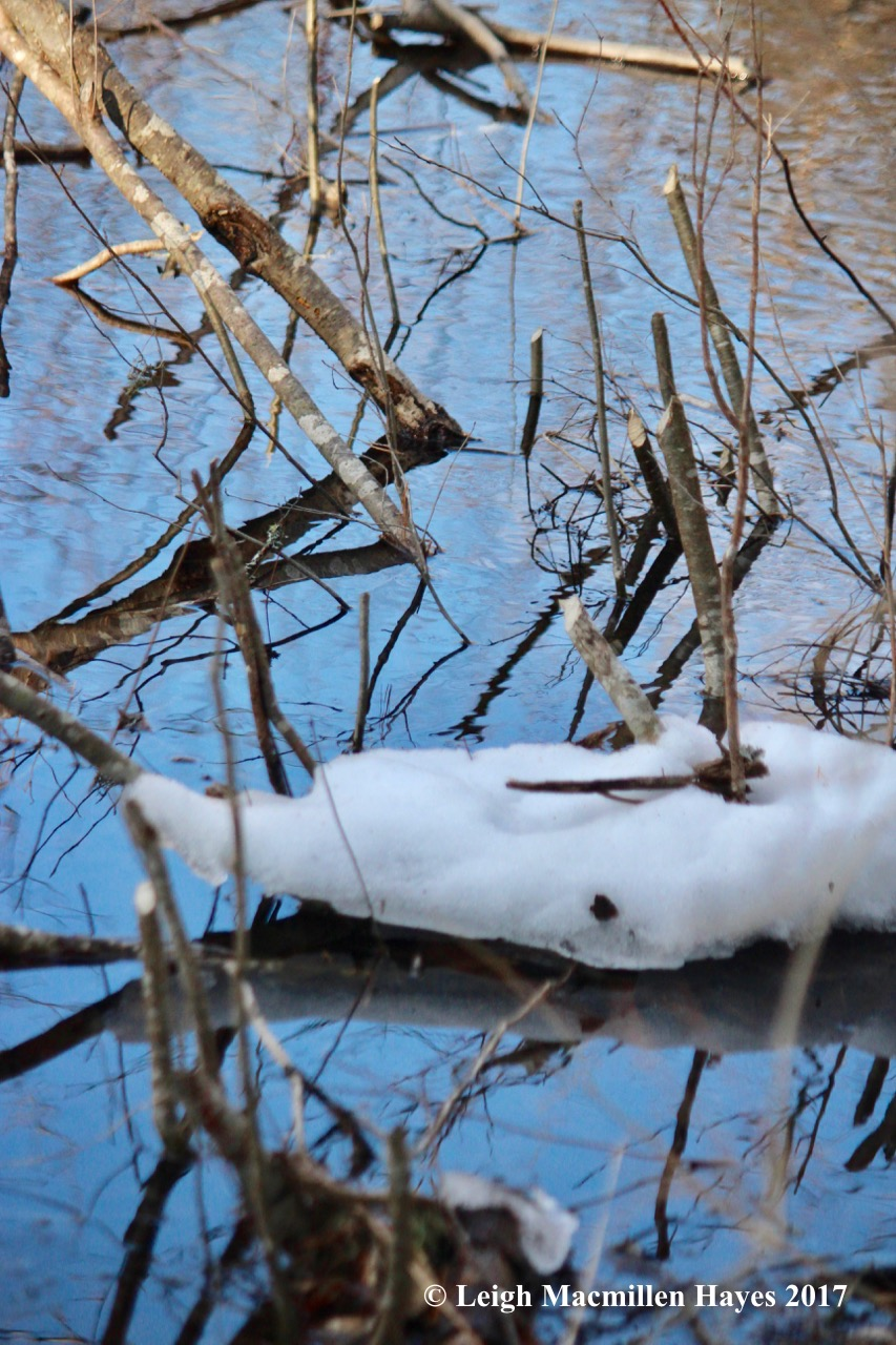 h-beaver-chews-near-dam-1